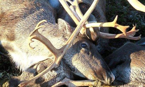 ناروے میں آسمانی بجلی گرنے سے 300 سے زائد ہرن ہلاک