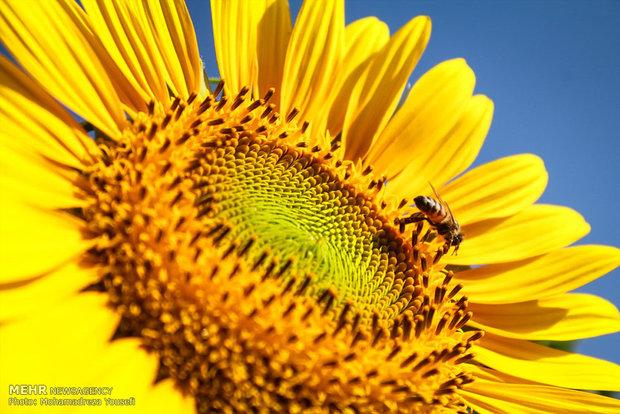 مزارع دوار الشمس في تاكستان قزوين
