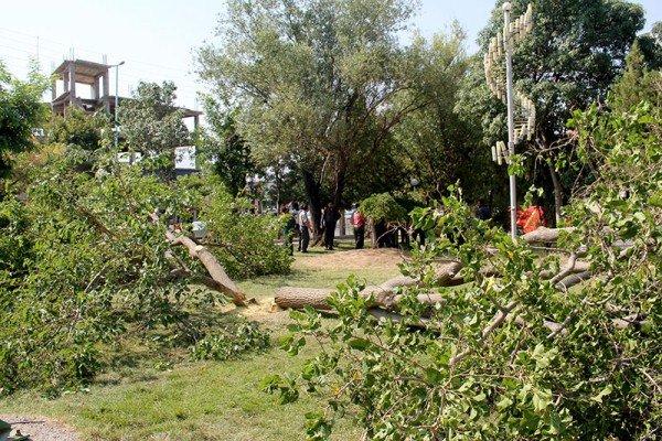 قطع درختان کهنسال پارک محله ای شهر اهر