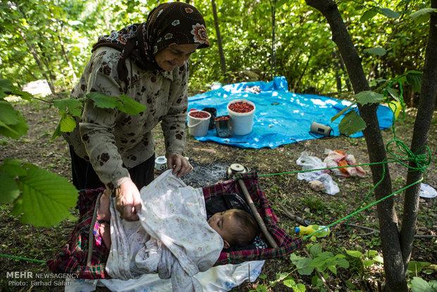 Kazvin köylerinde kızılcık hasadı
