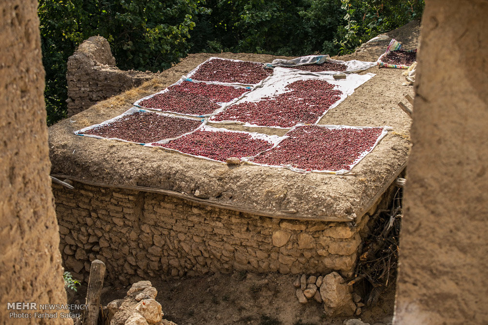 جشنواره زغال اخته در روستای هیر منطقه الموت قزوین