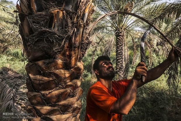 """جني تمور """"اسطه عمران"""" من مزارع نخيل خوزستان"""