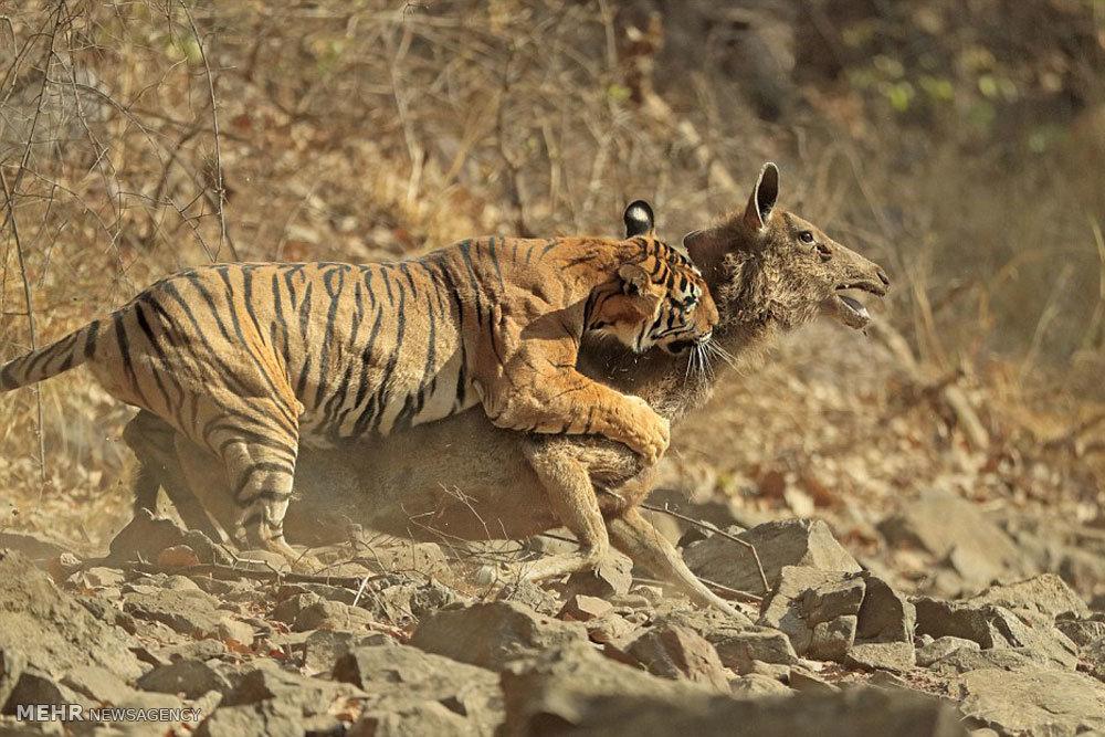 شکار آهو توسط ببر