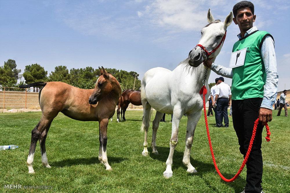 اولین مسابقات شو اسب دره شوری