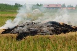 پایان فصل برداشت برنج در فومن و سرمایه ای که به آتش کشیده می شود