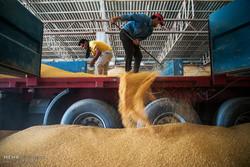 ۳۵۱ هزار تن گندم از کشاورزان زنجانی خریداری شده است