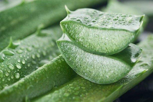 Aloe Vera leaf helps eliminate pollution