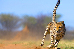 Dana Insurance works with UNDP in Asiatic Cheetah Project