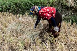 برداشت برنج از شالیزارهای قزوین آغاز شد