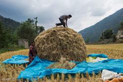 برداشت برنج در شالیزارهای چهاردانگه ساری