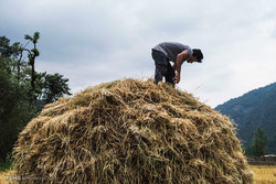 برداشت ۷۰ هزار تن شلتوک از شالیزارهای برنج در شهرستان فومن
