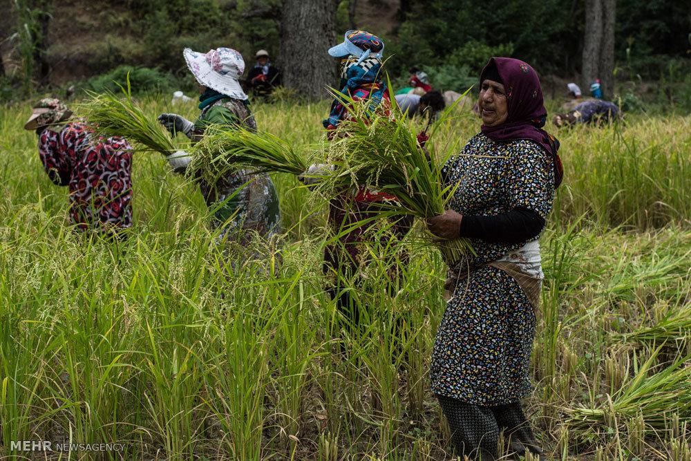 برداشت برنج از شالیزارهای چهاردانگه ساری