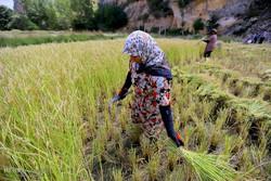 حصاد الأرز يدوياً في شمال ايران