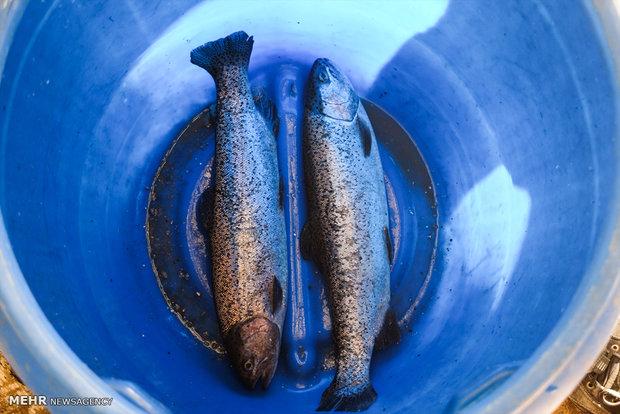 آغاز تحقیقات روی تولید ماهیان تراریخته پرورشی در کشور