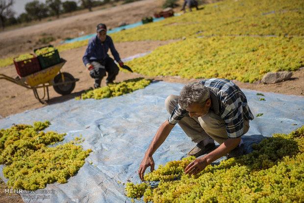 فصل برداشت انگور و تولید کشمش از باغ های تاکستان