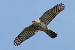 محموله قاچاق پرندگان شکاری در معرض انقراض کشف شد