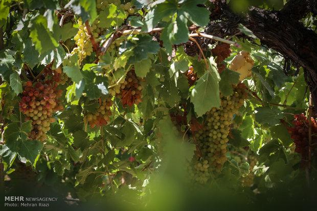 فصل برداشت انگور در ارومیه 2209527