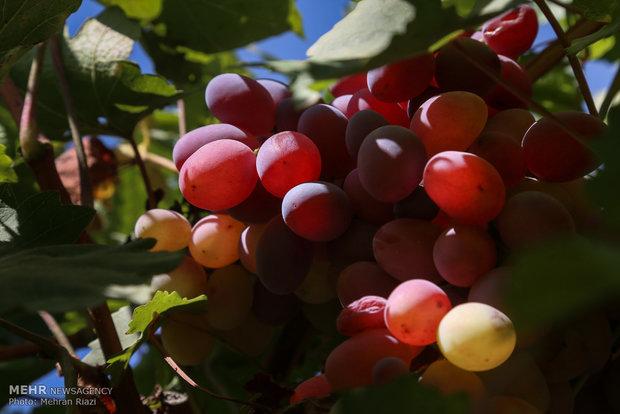 فصل برداشت انگور در ارومیه