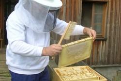 برداشت عسل از ۲۹۰ هزار کندو در گیلان/۵۵۰۰ تن عسل تولید می شود