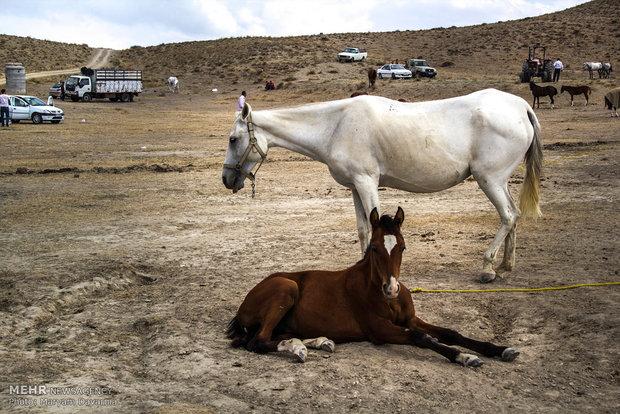 المهرجان الاقليمي الأول لجمال الخيول التركمانية في ايران