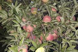 بیمه تنها ۲۵ درصد محصولات باغی زنجان