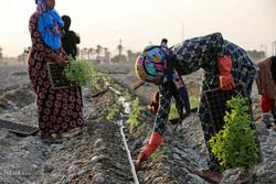 آغاز کشت نشاء گوجه فرنگی در مزارع کشاورزی هشت بندی