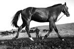 اسب اصیل ترکمن در منطقه راز و جرگلان استان خراسان شمالی