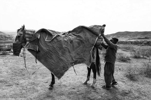 Regional Turkmen horse