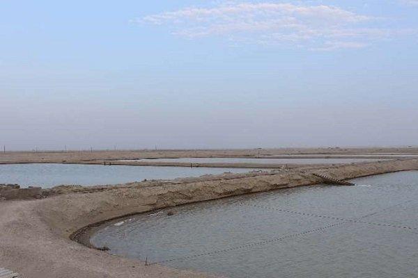 اراضی پرورش میگو در استان بوشهر ۱۳ درصد افزایش یافت