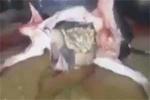 ڤیدیۆ؛ شاردنهوهی تهقهمهنی له ناوسکی مانگا له سووریا