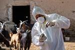واکسیناسیون ۱۲۰هزاردام علیه تب برفکی ولمپیاسکین دراستان کرمانشاه