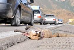 حریم حیاتوحش زیر چکمه قاتلان/ جادههای مرگ در کمین وحوش