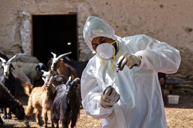 ۴۵ هزار راس دام سبک و سنگین در سیریک واکسیناسیون شدند