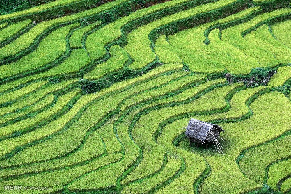 مزارع پلکانی