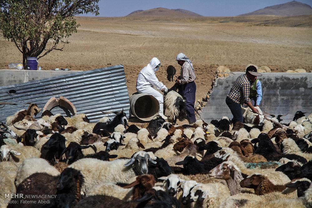 طرح واکسیناسیون آبله و شاربون در استان مرکزی