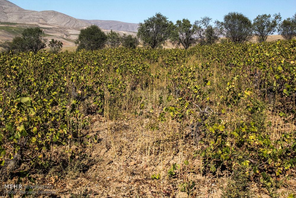 آفت سفیدک انگور در تاکستان های خراسان شمالی
