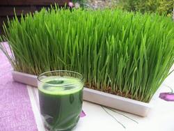سبزه گندم.jpg