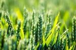 کشاورزان یزد برای بیمه محصولات کشاورزی دچار بیانگیزگی شدهاند