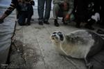 شکارچیان ناجی تنها پستاندار خزر شدند/نقش فک بر قالی زنان ترکمن
