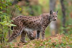 12 Heidari-Eurasian lynx-1.jpg