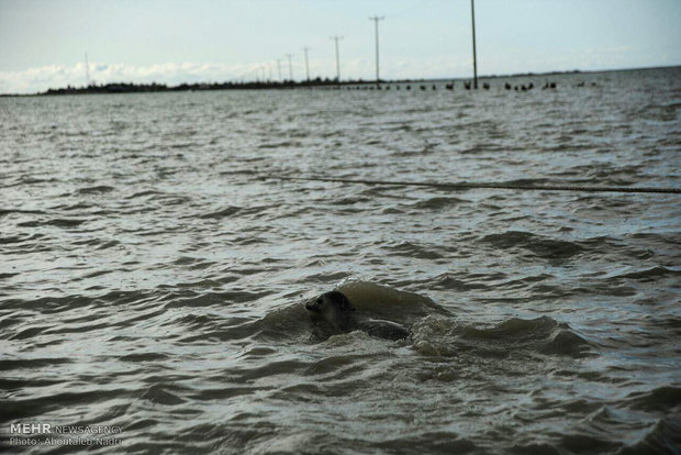 Charlie, the sea lion, returns home in Caspian Sea