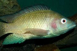 واردات ۲۰ میلیون دلاری ماهی تیلاپیا در سال