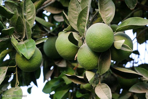 جهرم بزرگترین مرکز تولید لیمو شیرین در جهان است