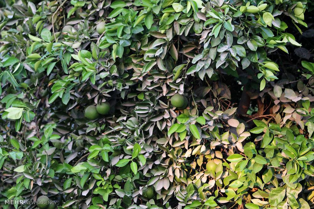 باغات به ثمر نشسته لیمو شیرین در هشت بندی هرمزگان
