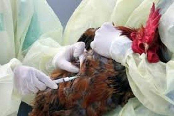 آنفلوانزای مرغی،رئیس دامپزشکی را به عراق کشاند