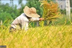 برداشت برنج در آبدانان آغاز شد