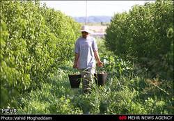 کیفیت بالای محصولات باغی چهارمحال و بختیاری/ مصرف کم سموم