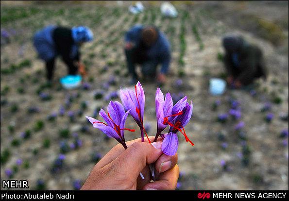 بدء جني الزعفران في ايران