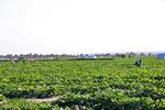 ۳.۵ هزار هکتار از زمینهای اندیمشک به سبزی و صیفی اختصاص یافت