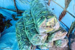 برداشت خیار گلخانه ای در ایرانشهر از مرز ۵ هزار تن گذشت